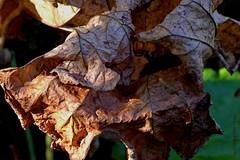 HERFST || AUTUMN || OUTONO || HERBST || AUTOMNE || OTOO (Anne-Miek Bibbe) Tags: canoneos700d canoneosrebelt5idslr annemiekbibbe bibbe nederland 2016 tuin garden jardin giardino jardim natuur nature oktober || october ottobre octubre outubro herfst autumn outono herbst automne otoo