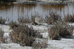 Ringed Plover or maybe Kentish (murrayN) Tags: cyprus akrotiri sba bird october plover wader shorebird ringedplover charadrius charadriushiaticula