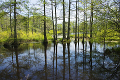 Cypress Swamp_8130 (Alice & Seig) Tags: mississippi spring16 flickr philipp unitedstates