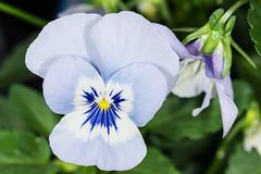 Autumn Blues (DavidHowarthUK) Tags: garden colchester essex october 2016 flower viola