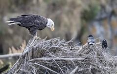A Conversation (Rick Derevan) Tags: alaska kodiak raven commonraven northwesterncrow crow corvuscorax corvuscaurinus kodiak2016 kodiaktrip2016 places