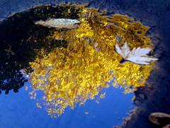 Mirror of  golden autumn (swetlanahasenjger) Tags: deutschland mecklenburgvorpommern greifswald arboretum spiegelung baum bltter goldfarbig himmelblau oktober herbstwunder saariysqualitypictures coth