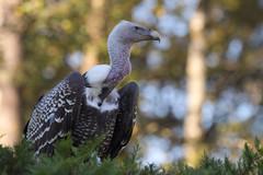 IMG_4528 (minions) Tags: rambouillet 2016 parc animaux rapace vautour