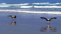 Seagulls 2 (schlumpfita) Tags: tasmansea newzealand nuevazelanda sea seagulls