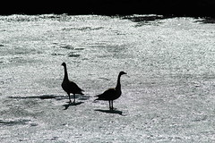 Backlit Canada Geese on frozen lake (thfr&I) Tags: white canada black ice backlight geese shadows silhouettes explore alberta frozenlake 25faves bluebirdestates img8925a spring2013 bestofadministrativeawardsivshowcase thfri