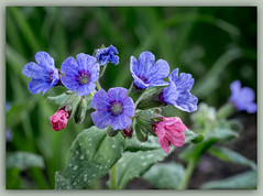 My Lungwort (Pulmonaria) is blooming,,,, spring has really arrived!! (bonnie5378) Tags: ngc springflowers pulmonaria inmygarden lungwort qualitypixels addictedtoflower naturescarousel may2013 naturallywonderful floraaroundtheworld coloredpetalsgarden