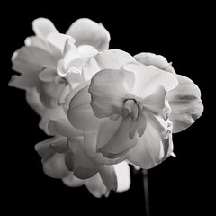 Good Morning (trekker308) Tags: bw flower macro monochrome closeup tamron kingsfield tamron90macro d300s