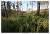 Carmel Pine Forest