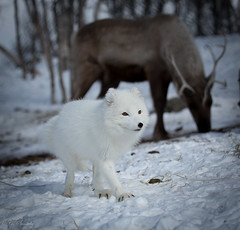 Norwegian animals (CecilieSonstebyPhotography) Tags: white norway canon reindeer ngc arctic fox endangered paws claws langedrag arcticfox alopexlagopus polarfox whitefox snowfox norwegiananimals ef100400mmf4556lisusm