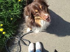 On a walk (Suki_Photography {Sandra}) Tags: 365 aussie dogwalk onasunday 50365 3652013 day50
