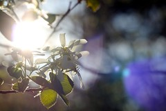 Reflecting Light And Love (blue mountain thyme) Tags: plants nature evening shrub myhome eveninglight methowvalley serviceberryblossoms mostbeautifulevening