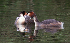 Great-crested Grebes with chicks - 1 (Czech Conroy) Tags: london water birds canon grebe wetland greatcrestedgrebe