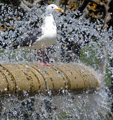 seagull in a fountain (Alice1302) Tags: park fountain golden gate san francisco seagull