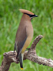 P1080976 (lbj.birds) Tags: bird nature wildlife kansas waxwing cedarwaxwing flinthills