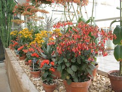 Kalanchoe mirabella, in the cool house at Wisley, 8th March 2012 (jrcollman) Tags: plants gardens places wisley archived importedtags kalanchoemirabella kplant jeffs23rdfebto12thmarch2012