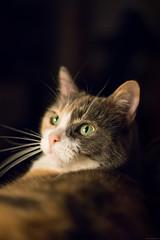 NCB_6011.jpg (Our Poopy Pants) Tags: hairy pet cats cat fur furry kat feline chat kitty whiskers gato kitties meow katze paws puss kot gat koka kass katt kato kissa maka paka  furballs katu conmo