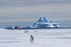 Manchot empereur, Terre Adlie (Terres australes et antarctiques franaises) Tags: iceberg environnement astrolabe manchot polaire taaf antarctique biodiversit dumontdurville manchotempereur terreadlie terresaustralesetantarctiquesfranaises