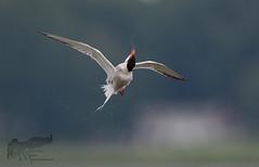 Common Tern Shake 7_25 (krisinct- Thanks for 12 Million views!) Tags: nikon d500 500 f4 vr g