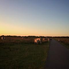 Op bezoek bij mijn vriendinnen (Harry -[ The Travel ]- Marmot) Tags: square squareformat iphoneography holland landschap koeien kalveren drinken cows drinking calf dusk zonsondergang avond evening bikeride fietstocht twiske