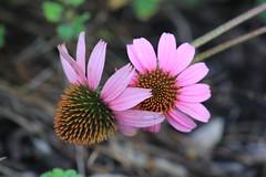 Purple coneflower (im2fast4u2c) Tags: purpleconeflower mercer arboretum botanic gardens