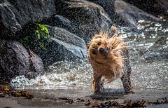 Spinning (Mika Laitinen) Tags: helsinki uusimaa finland fi dog australian terrier water color sumer animal pet