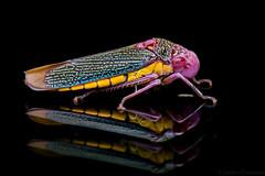 Chicarrita (Cicadellidae) (Javier Chiavone) Tags: andresito misiones chicharrita sansebastian2016 cicadellidae