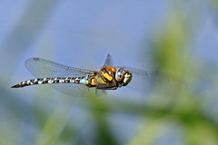 Migrant Hawker Flight Shot (paul.taylorptct) Tags: migrant hawker flight shot pleased focus elements 200 wing