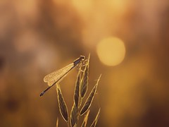 dreaming (Stadt_Kind) Tags: dragonfly bokeh bokehlicious stadtkind kempten germany europe new flickr popular schrfentiefe dof libelle sonnenuntergang sunset dawn makro macro macrophotography naturephotography olympusem10markii olympusm6028macro