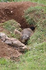 Marmotta (Ferruccio.m) Tags: marmotta marmot murmeltier marmota