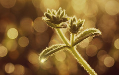 Dewdrops at dawn (judith511) Tags: odc whileyouweresleeping dew weeds grass bokeh goldenhour