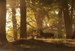Deer in Woods III (Philbo24) Tags: richmond london uk richmondpark deer morning sunrise sunlight woods trees