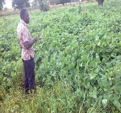 Sep 2016 Jack bean restores soil fertility (Foods Resource Bank) Tags: maize soil yields kitchen garden goats income jack bean lablab humanitarian food security women self help group fertility