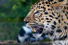 Amur leopard (My Planet Experience) Tags: amurleopard leopard pantherapardusorientalis léoparddelamour fareast manchurian korean panther cat mammal animal wild wildlife nature conservation biodiversity species endangered iucn redlist myplanetexperience wwwmyplanetexperiencecom