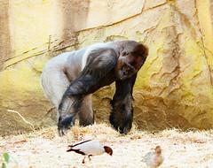 Male gorilla (VirtualWolf) Tags: animal australia canonef135mmf2lusm canoneos7d equipment gorilla mosman newsouthwales places primate sydney tarongazoo wildlife