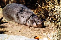 Sleeping pygmy hippo (VirtualWolf) Tags: animal australia canonef135mmf2lusm canoneos7d equipment hippopotamus mammal mosman newsouthwales places pygmyhippopotamus sydney tarongazoo wildlife