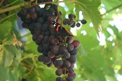 Also Butterflies Love Grape Juice (ivlys) Tags: atzbach garten weintrauben grapes frchte fruits admiral redadmital schmetterling butterfly insect nature ivlys