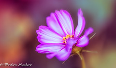 Sunny world (frederic.gombert) Tags: cosmos fire color colors colorful flower flowers light pink red white garden plant macro macrodreams greatphotographers