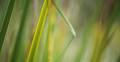 The Green Green Grass of Home (setoboonhong) Tags: nature foliage leaves close up grass sunlight depth field colours green bokeh veins lines angle song of home tom jones