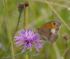 Red spells danger (jump for joy2010) Tags: uk england somerset thepoldenway coombehill limestone grassland meadow wildflower commonknapweed butterfly meadowbrown male insects parasite red tiny mite arachnid trombidiumbreei august 2016