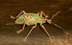 Exophthalmus sp., Curculionidae (Ecuador Megadiverso) Tags: andreaskay beetle coleoptera curculionidae ecuador entiminae loscedros weevil idbyjennifercgirónduque exophthalmussp