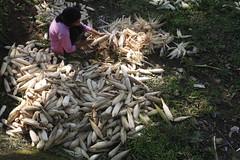 SBC_2015_31Aug_18 (susancorpuz90) Tags: zamboangadelsur cornharvest samal tukuran susancorpuz food foodsecurity