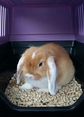 IMG-20160803-WA0005 (jlfaurie) Tags: bambam lapi rabbit bunny conejo animal familier family member pet compania