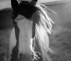 Meet Emo Horse (Alex Nichol) Tags: mamiyarz67 mamiya rz67 mediumformat film 120 6x7 sekor sekor110mmf28 lee09ndsoftgrad orangefilter black ad white sunrise dawn flare atmospheric emo