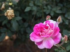 partly pink (1600 Squirrels) Tags: 1600squirrels photo 5dii lenstagged canon35f14 huntingtonlibrary sanmarino sangabrielvalley losangelescounty greaterlosangeles socal california usa botanicalgarden flora flower rose rosa