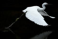 Little Egret (craig.denford) Tags: little egret bude cornwall craigdenford