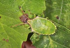 Hawthorn Shieldbug Final Instar Nymph (Prank F) Tags: cambourne wildlifetrust cambsuk wildlife nature insect macro closeup bug shieldbug instar nymph final hawthorn acanthosomahaemorrhoidale