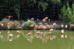 La mare aux flamands roses (Chemose) Tags: oiseau bird flamandrose flamingo mare tang pond eau water parcdesoiseaux park ain villarslesdombes dombe france canon eos 7d hdr juillet july summer