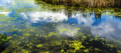 A bit of Giverny in Pungo (This is Virginia Beach, too - 013) (cbonney) Tags: virginia beach pungo pleasant ridge road rural reflection sky water swamp giverny monet
