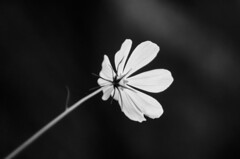 (Kals Pics) Tags: flowers bryantpark kodaikanal hillstation princess mountains westernghats india tamilnadu blackandwhite lightandlife colorless monochrome blackwhite lightandshadow kalspics