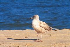 gall on point pleasnt beach (f.tyrrell717) Tags: point pleasnt beach gall bird nj shore ocan